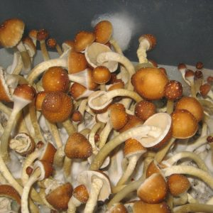 Buy-golden-teacher-mushroom